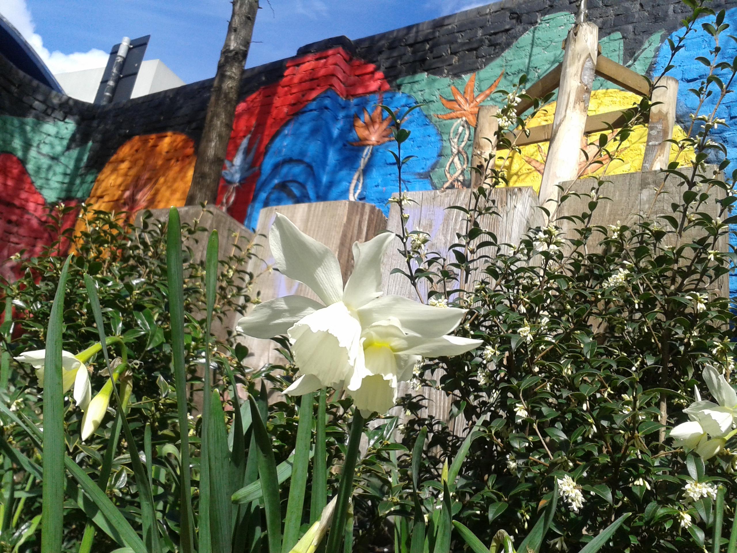 a daffodil in the SkyWay garden